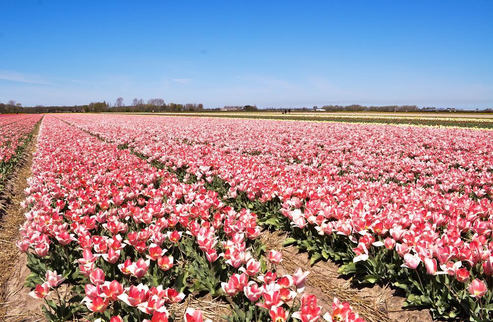 El poder de los tulipanes que tiene hipnotiza a todo el que llega a los campos de Holanda. |Fotografía: Glenda Galarza