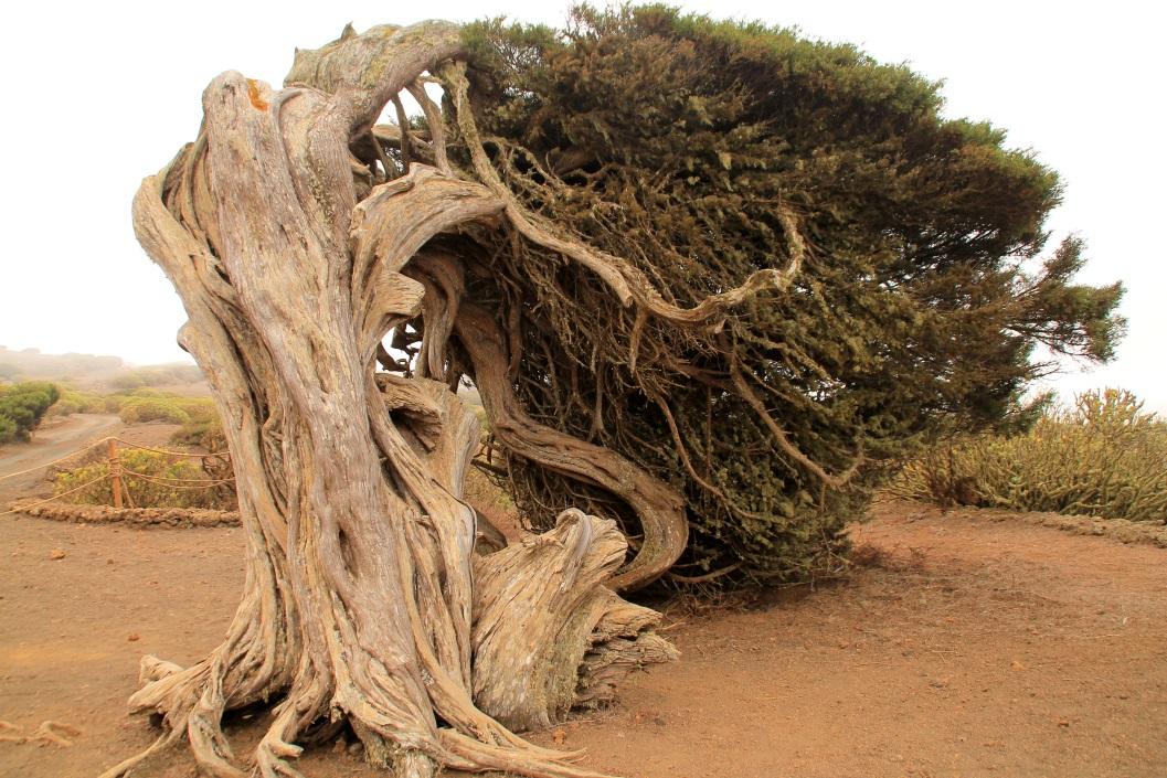 Las sabinas de El Hierro están retorcidas por la acción de los vientos alisios. | Fotografía: Virginia Martínez