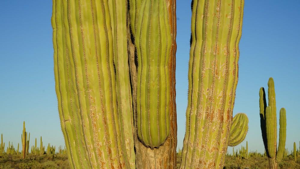 Los cactus del desierto de Sonora -Paty Godoy